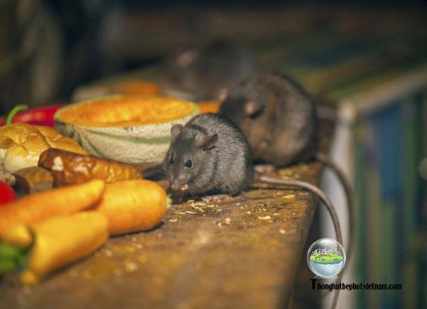 Nguyên nhân nào gây ra chuột trong nhà.